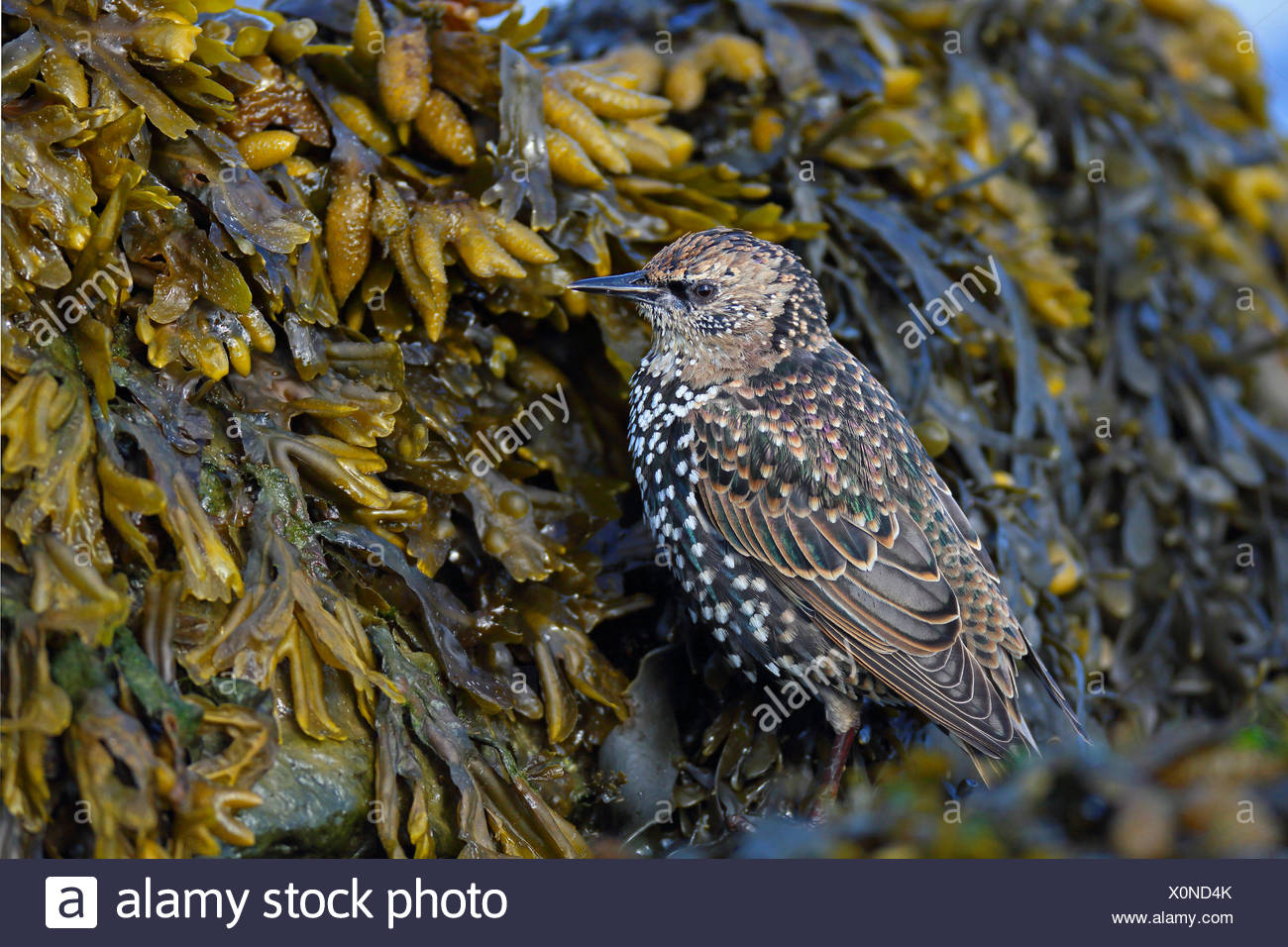 common starling (Sturnus vulgaris), starling in winter plumage looks for food at bladderwrack, Netherlands, Frisia - Stock Image