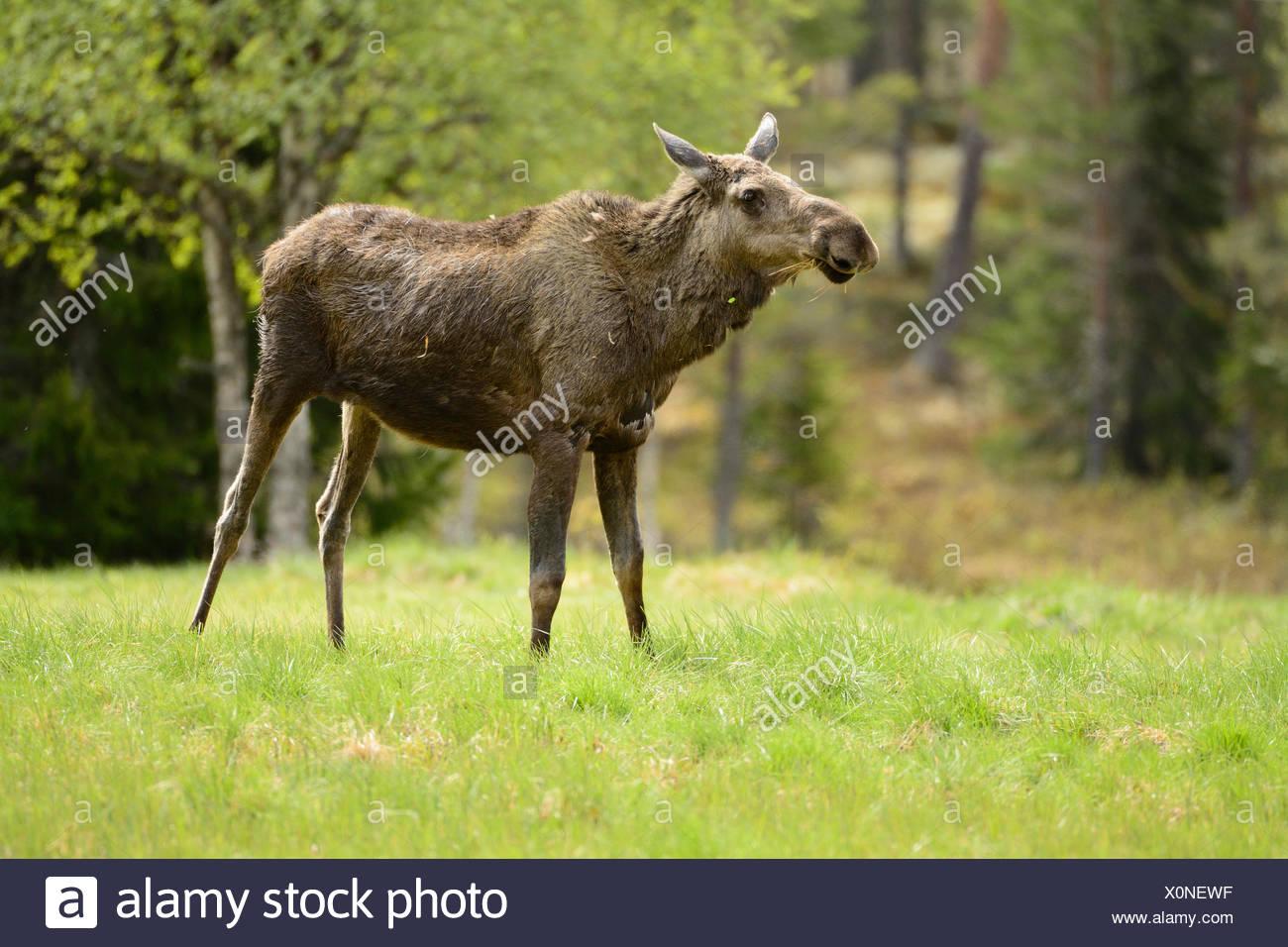 Moose, Alces alces, Cervidae, mammal, animal, Idre, Dalarna, Sweden - Stock Image