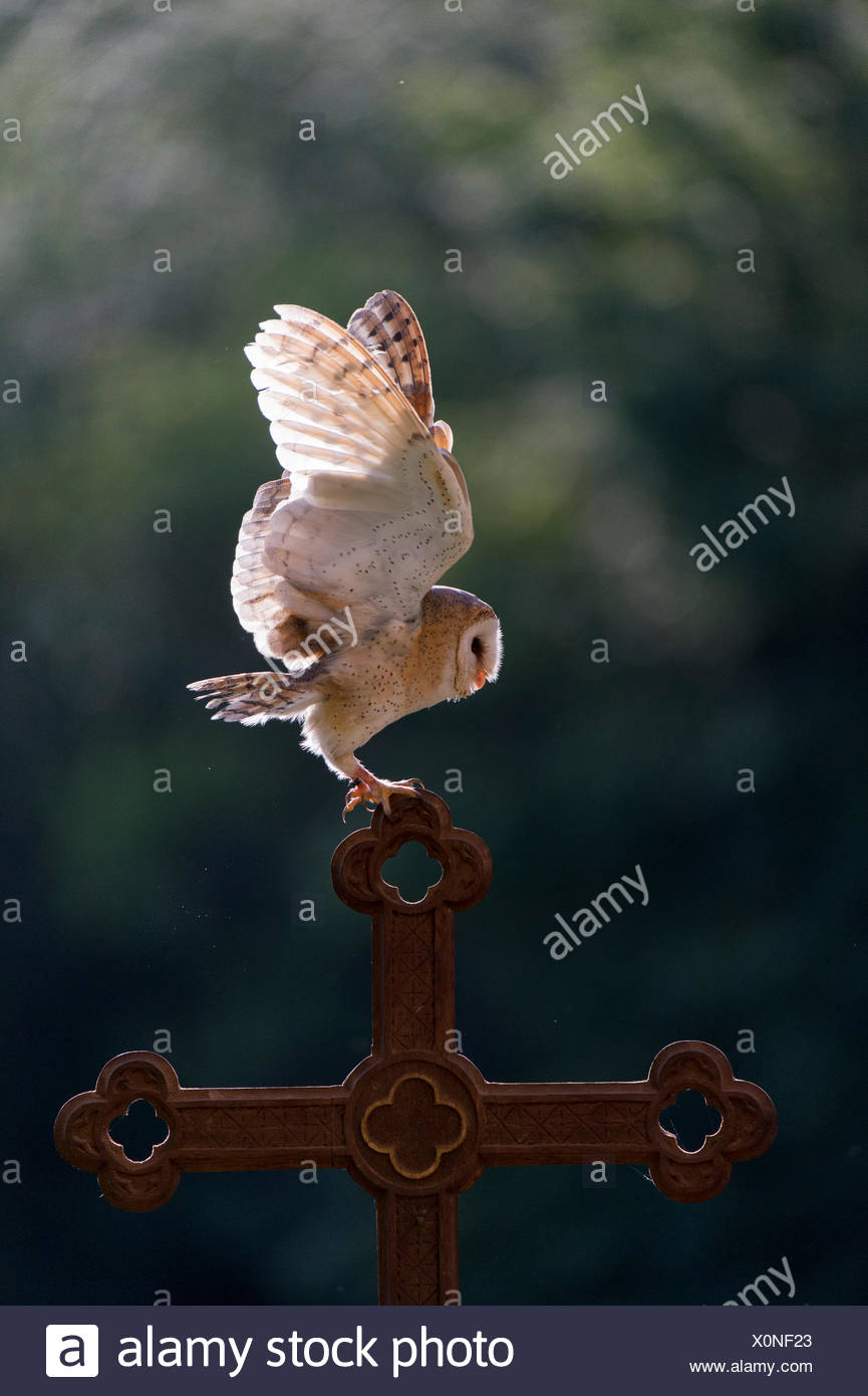 Barn owl (Tyto alba), captive, landing on a cross, Vulkaneifel, Germany - Stock Image