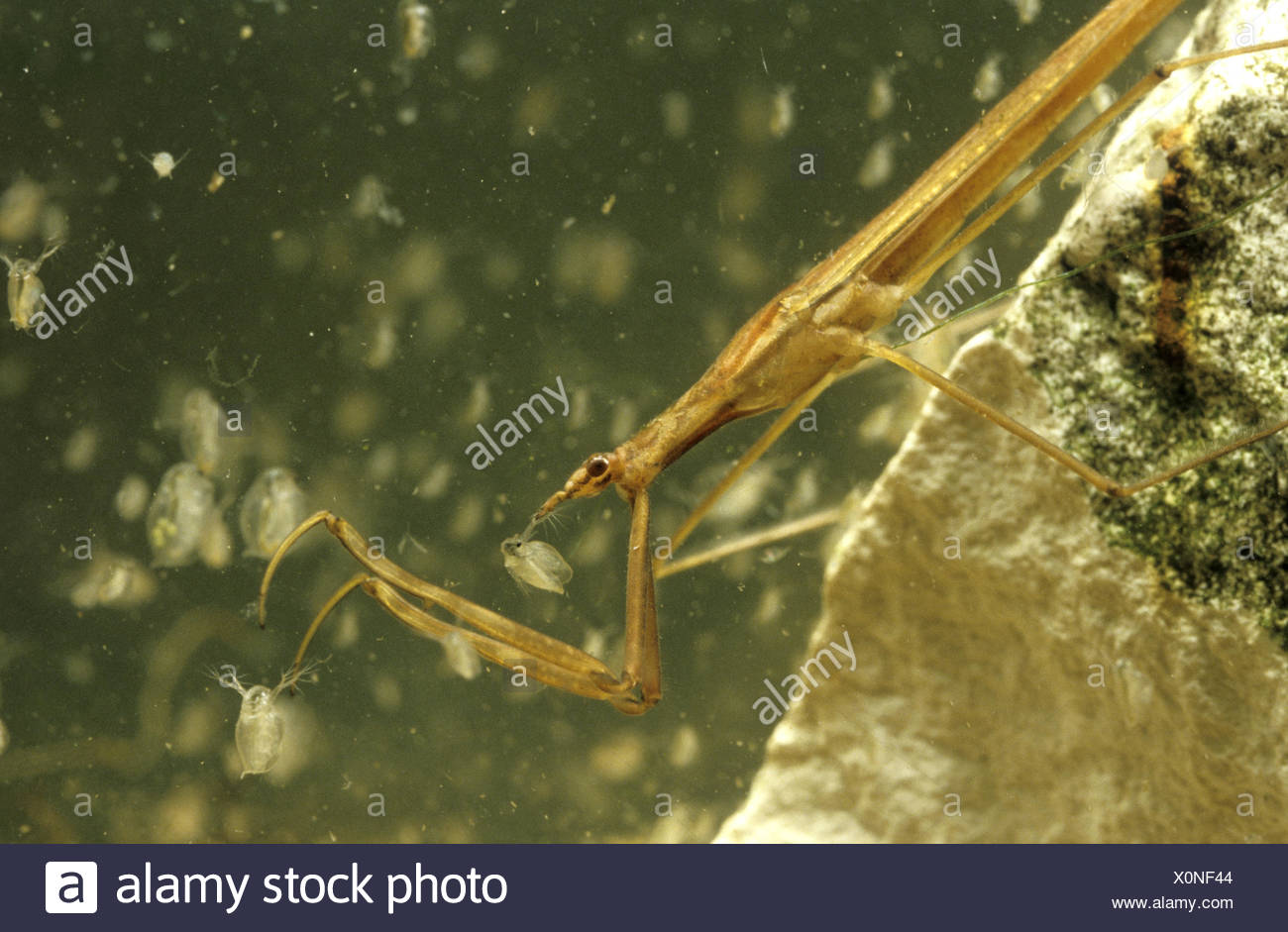 Water Stick Insect - Ranatra linearis - Stock Image