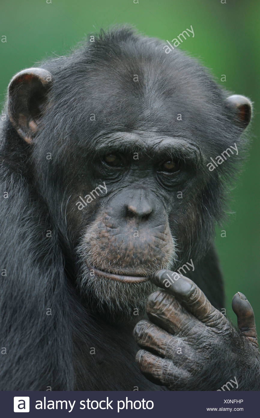 Pygmy chimpanzee or Bonobo (Pan paniscus), Portrait - Stock Image