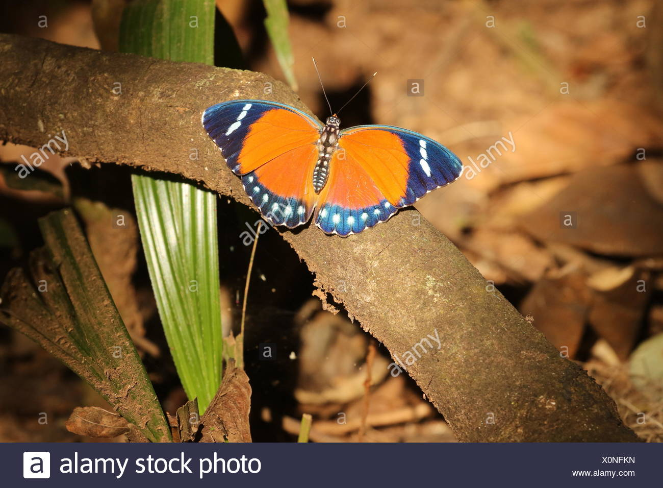 A Euphaedra ruspina, Nymphalidae, rests on a branch. - Stock Image