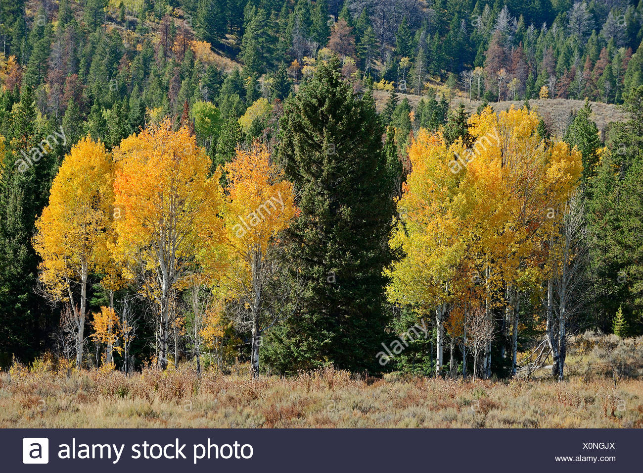 Quaking Aspen or Trembling Poplar (Populus tremuloides) and other conifer trees in autumn, Grand Teton National Park, Wyoming - Stock Image