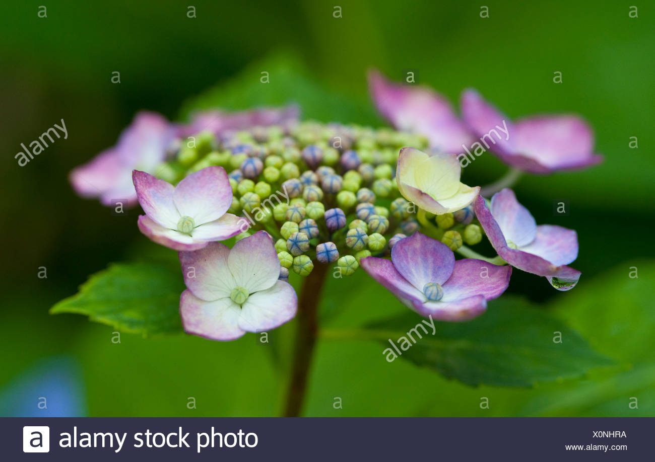 Macro photo of Hydrangea flowers and petals blooming - Stock Image