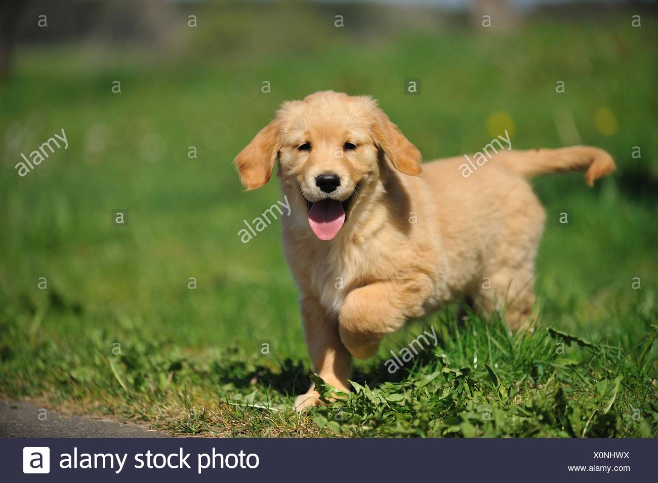 Golden Retriever Puppy Stock Photo 275840934 Alamy