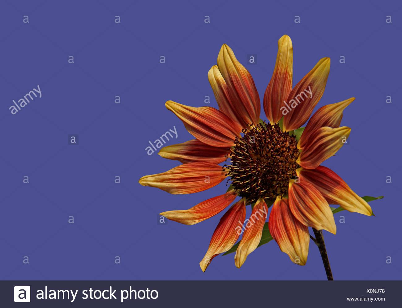 helianthus annuus ruby eclipse Stock Photo