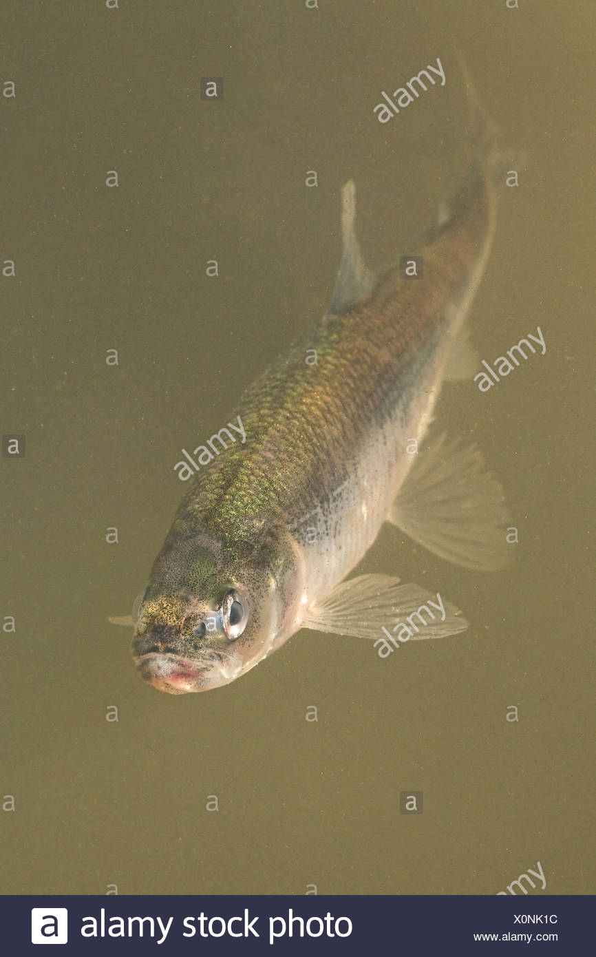 Anadromous Fish Stock Photos & Anadromous Fish Stock Images - Alamy