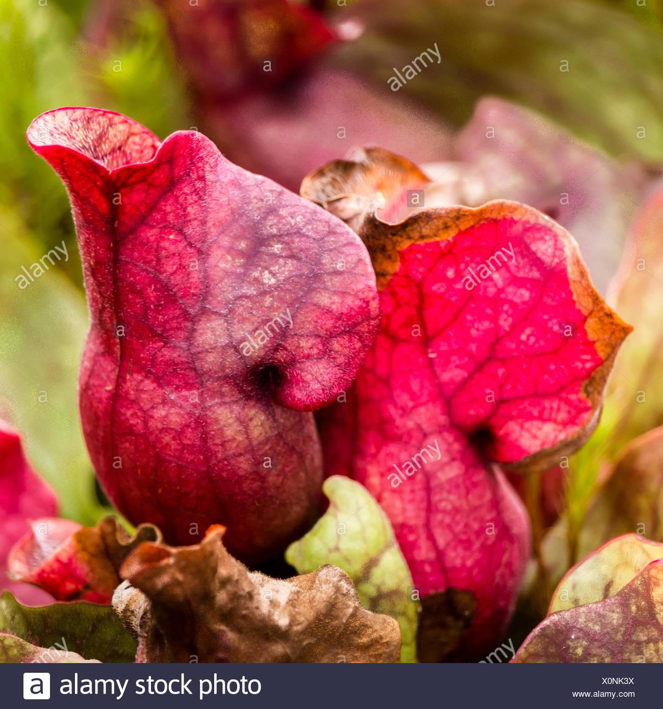 Close-up of carnivorous purple pitcher plant, Sarracenia purpurea, at Glasgow Botanical Garden. - Stock Image