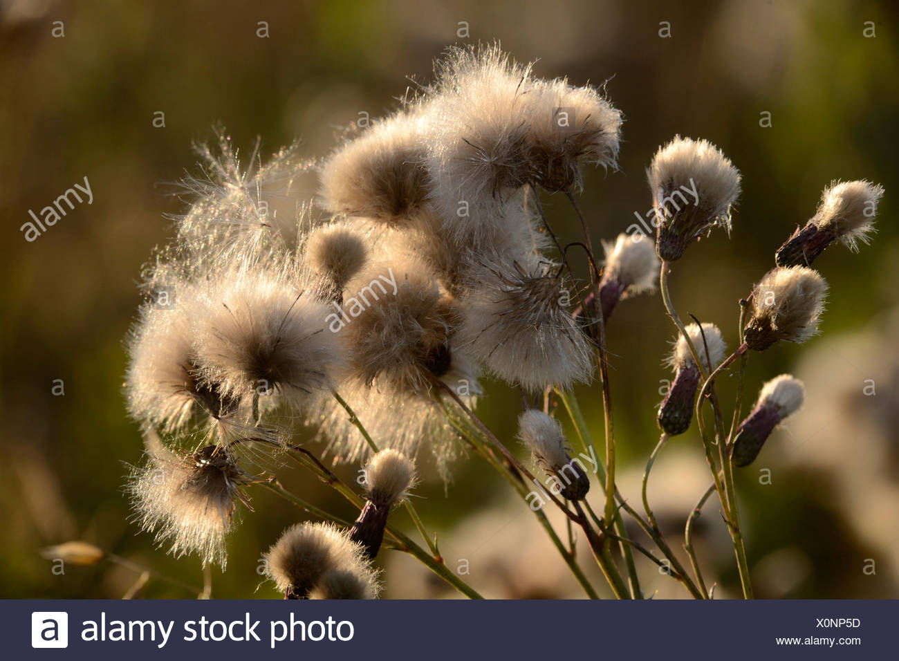 Creeping Thistle - Stock Image