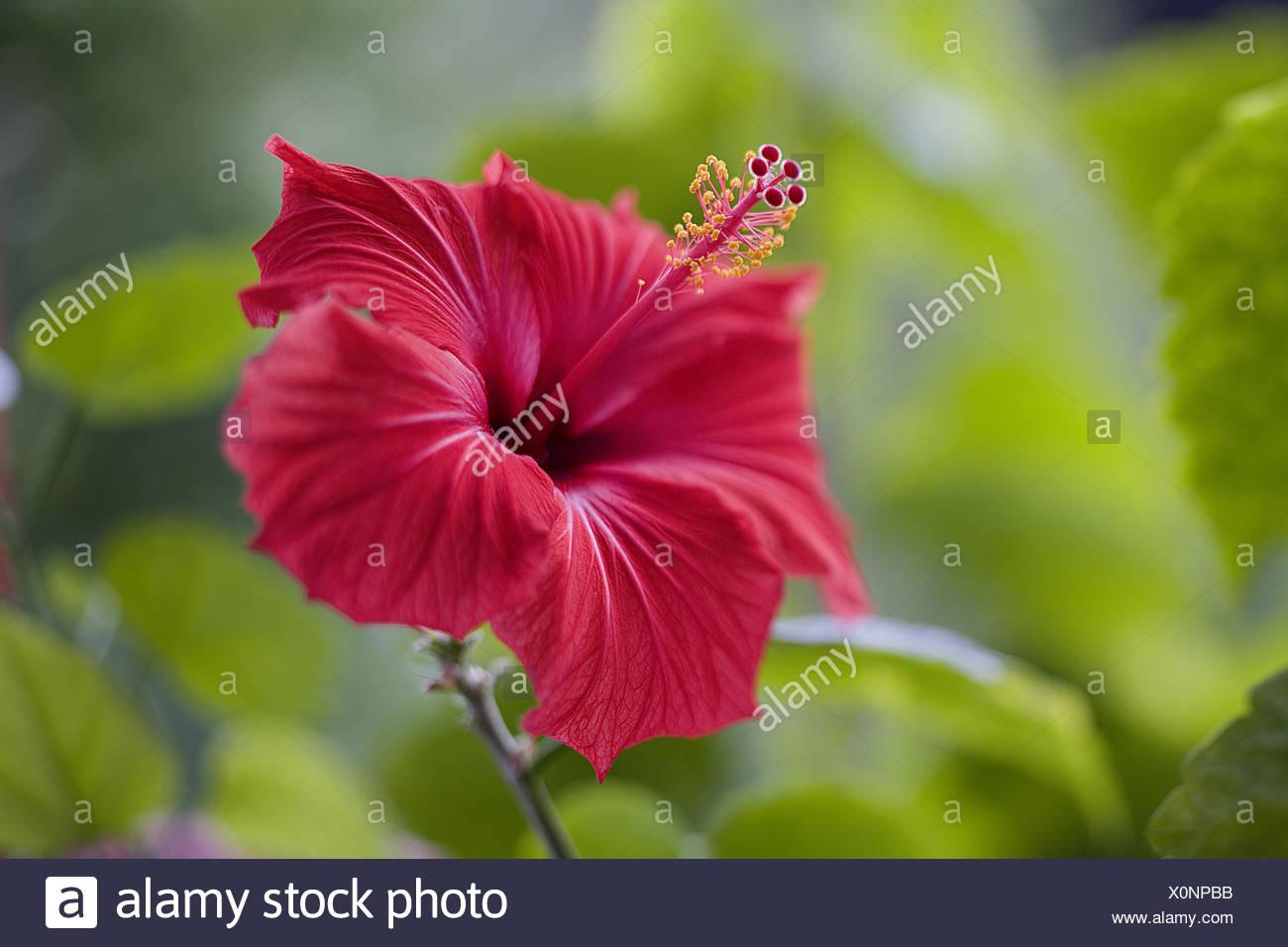 Hibiscus Blossom Red Medium Close Up Hibiscus Blossom Dust