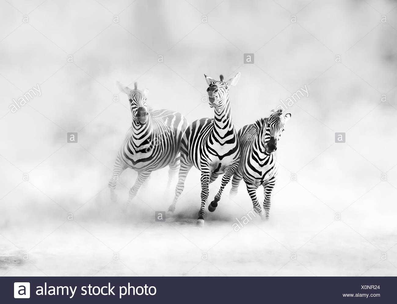 Zebras (perissodactyla) running in dust cloud - Stock Image