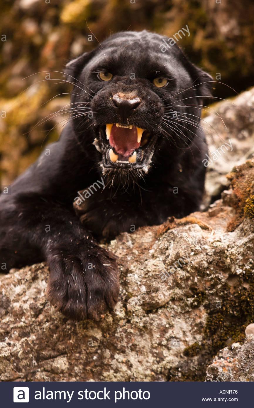 Black panther snarling, Montana, USA - Stock Image