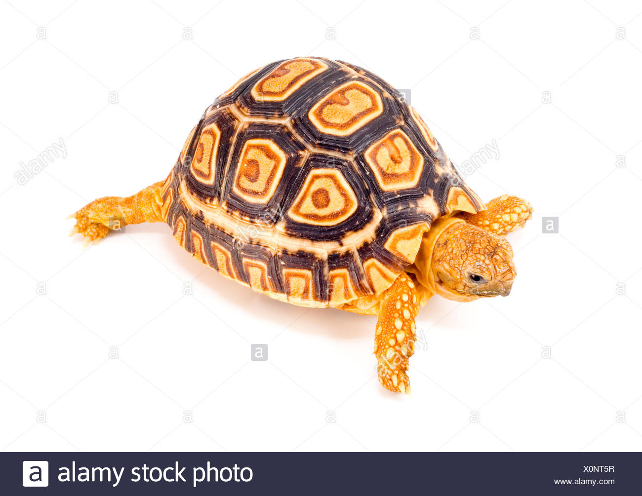 tortoise turtle macro close-up macro admission close up view protected - Stock Image