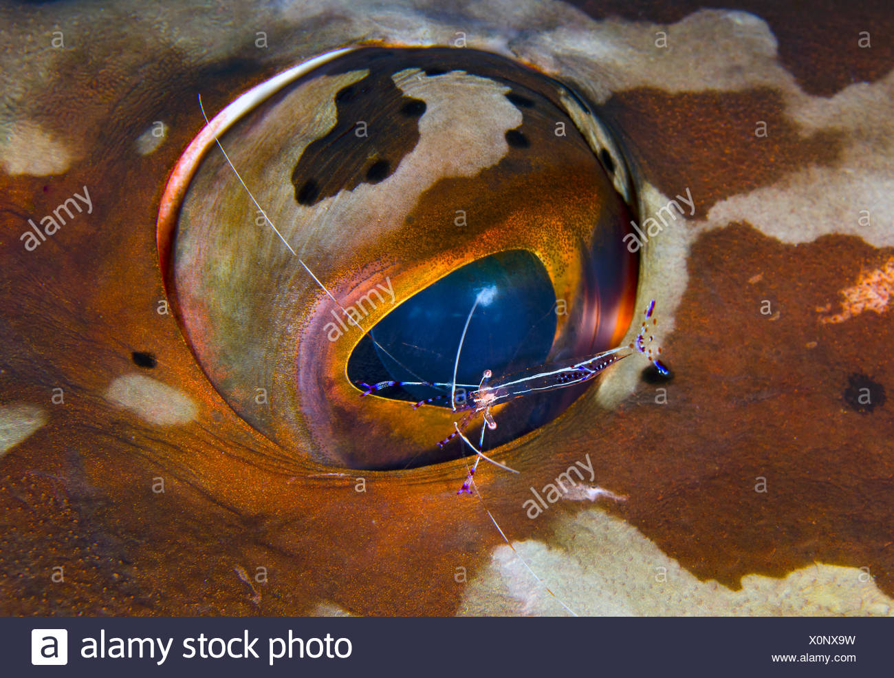 Pederson cleaner shrimp (Periclimenes pedersoni) cleaning the eye of a Nassau grouper (Epinephelus striatus), Bloody Bay Wall, Little Cayman, Cayman Islands. British West Indies, Caribbean Sea. - Stock Image