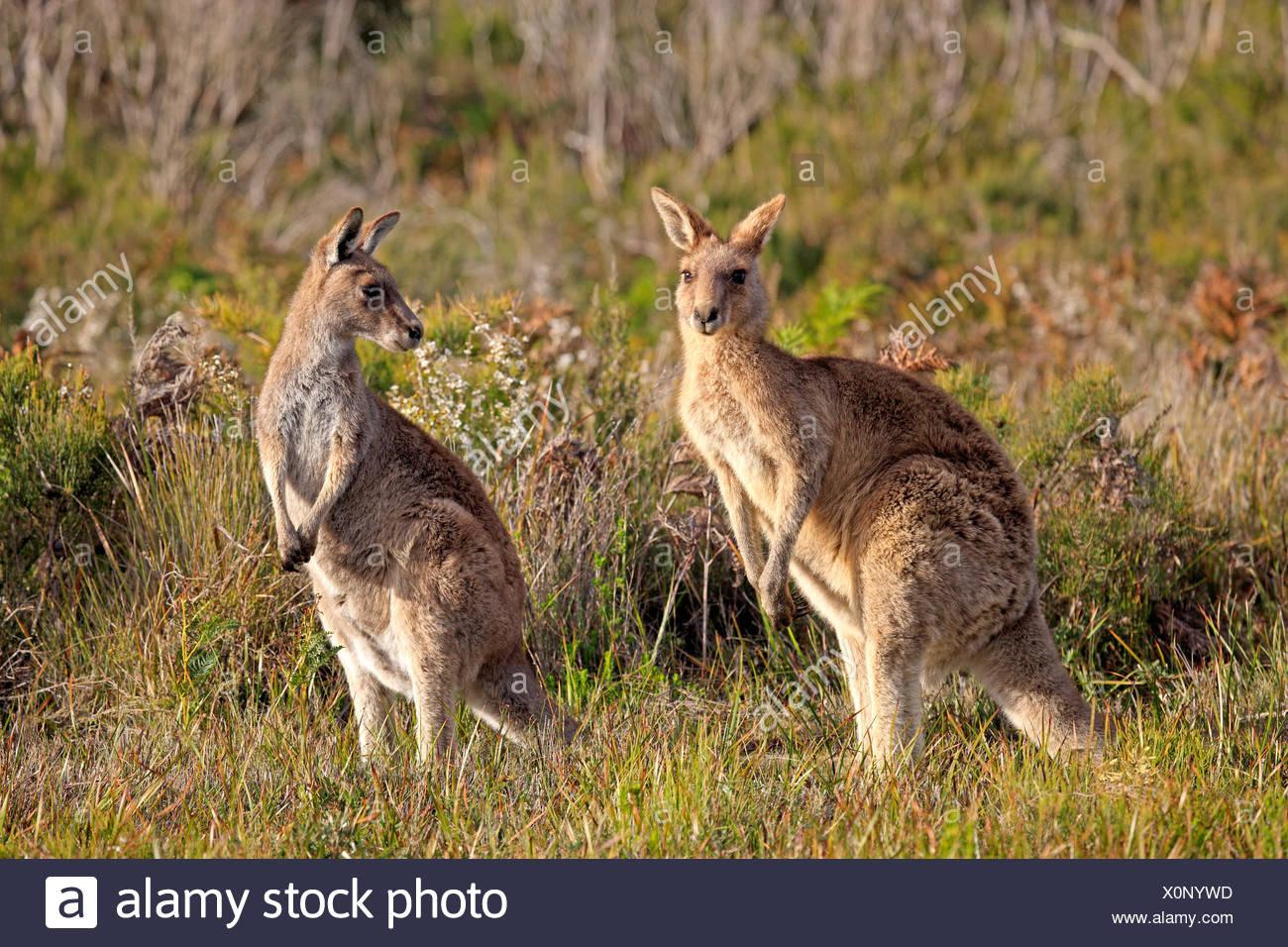 Eastern Grey Kangaroo, Wilson Promontory Nationalpark, Victoria, Australia / (Macropus giganteus) - Stock Image