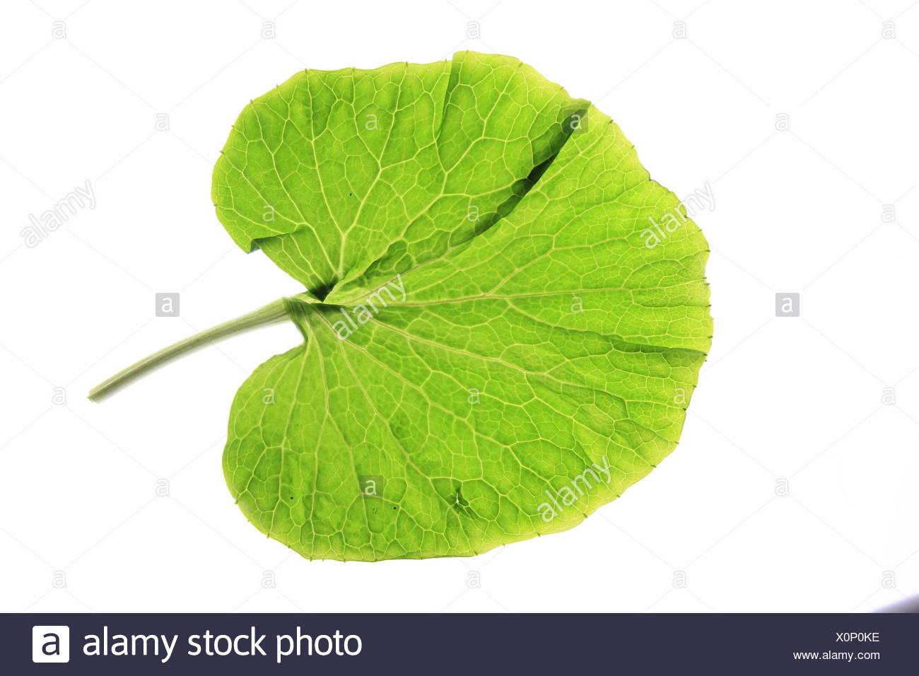 leaf of japanese horse-radish wasabi - Stock Image