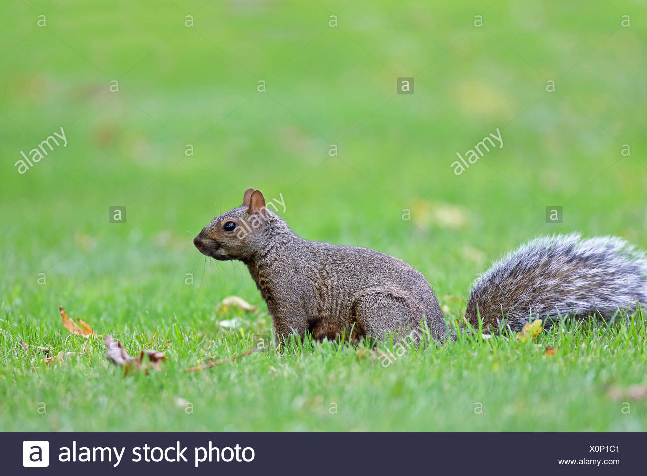 Eastern gray squirrel, Grey squirrel (Sciurus carolinensis), sits on grass, Canada, Ontario, Leamington Stock Photo