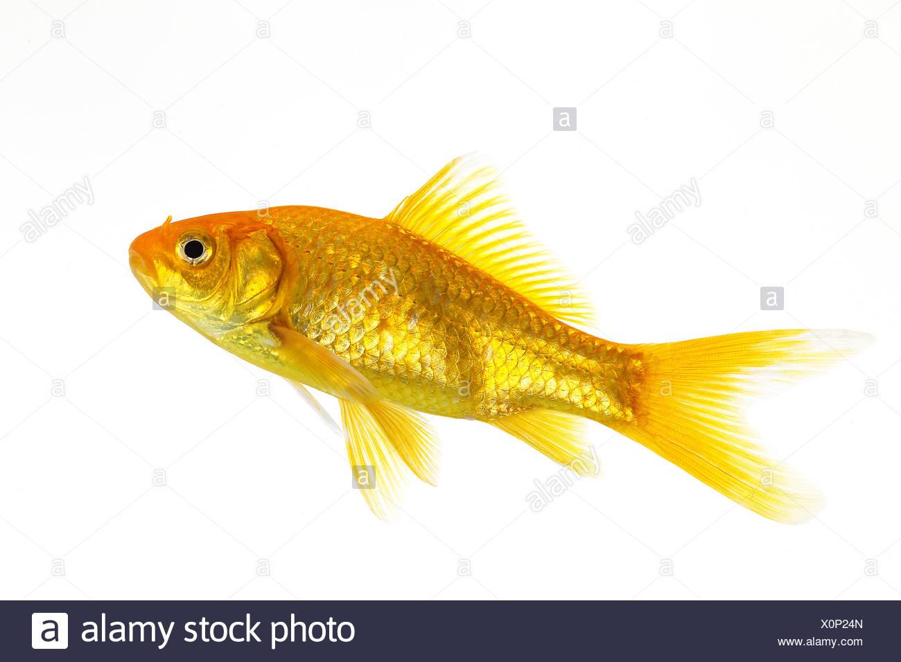 GOLDFISH carassius auratus AGAINST WHITE BACKGROUND Stock Photo
