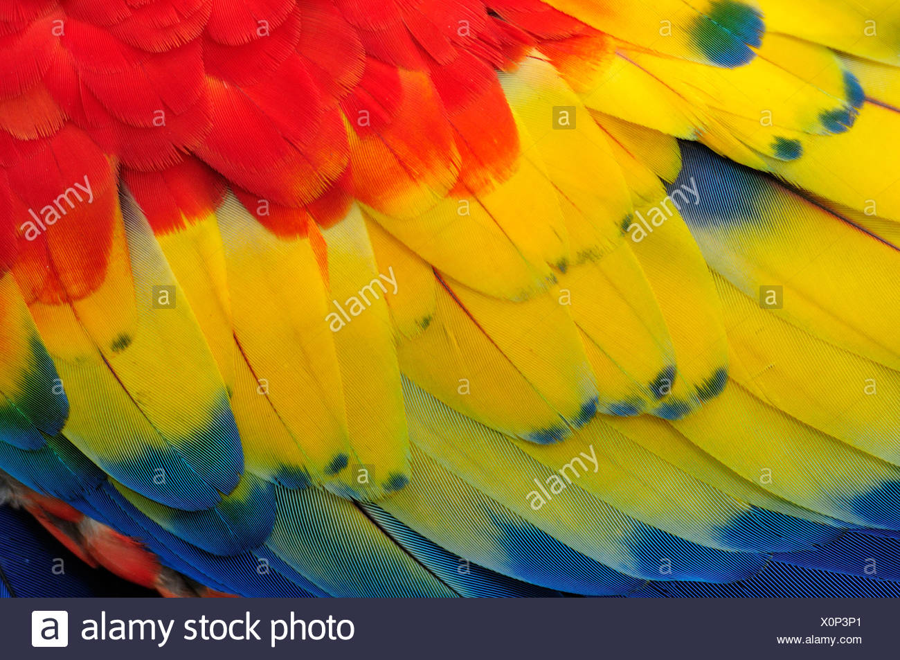Macaw, parrots, Central America, Honduras, feathers, colours, concepts, - Stock Image