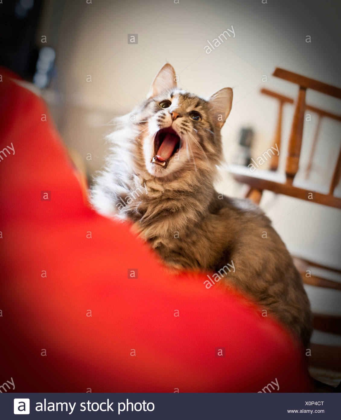 Close-up of a cat yawning - Stock Image