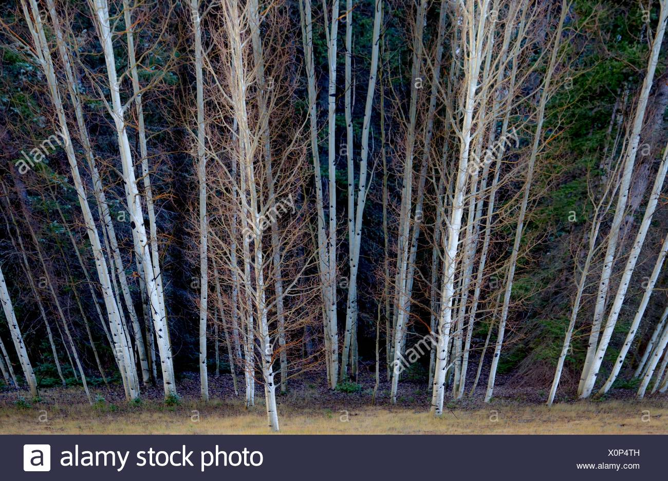 Fall colors have arrived at Kaibab National Forest, Arizona. - Stock Image