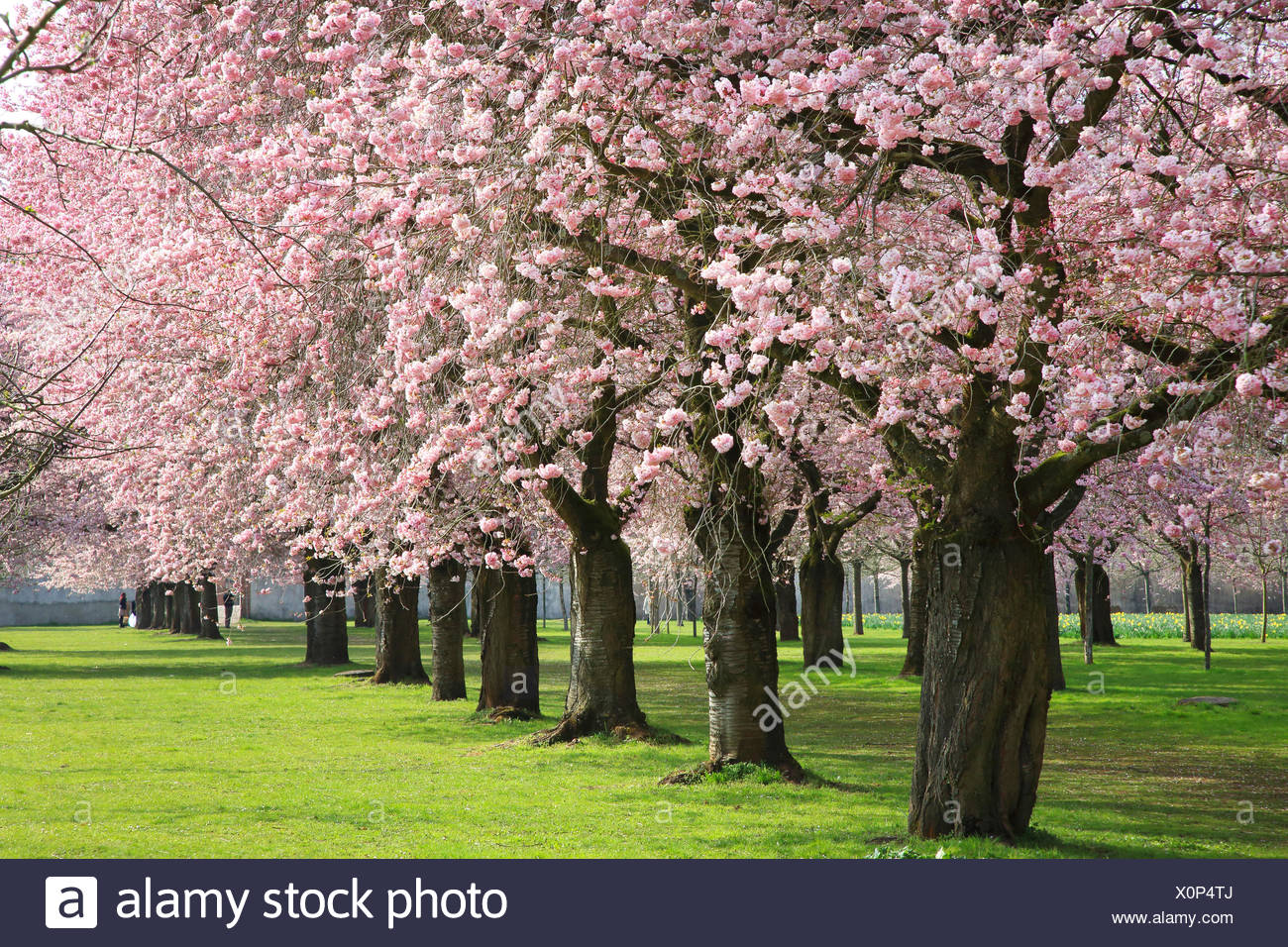 oriental cherry (Prunus serrulata), flowering oriental cherry alley at Schwetzingen Palace, Germany, Baden-Wuerttemberg - Stock Image
