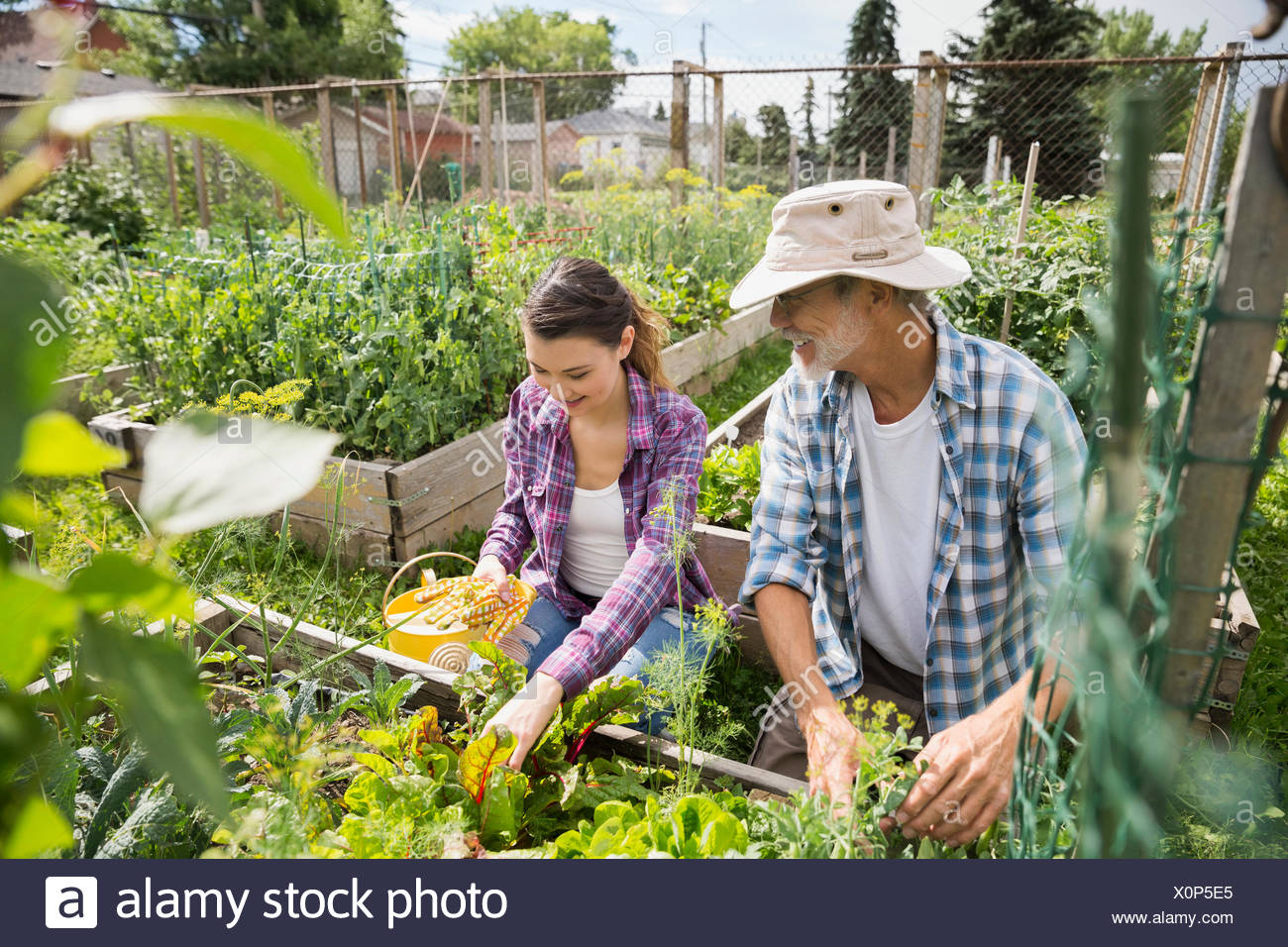 Father and daughter tending to vegetable garden - Stock Image