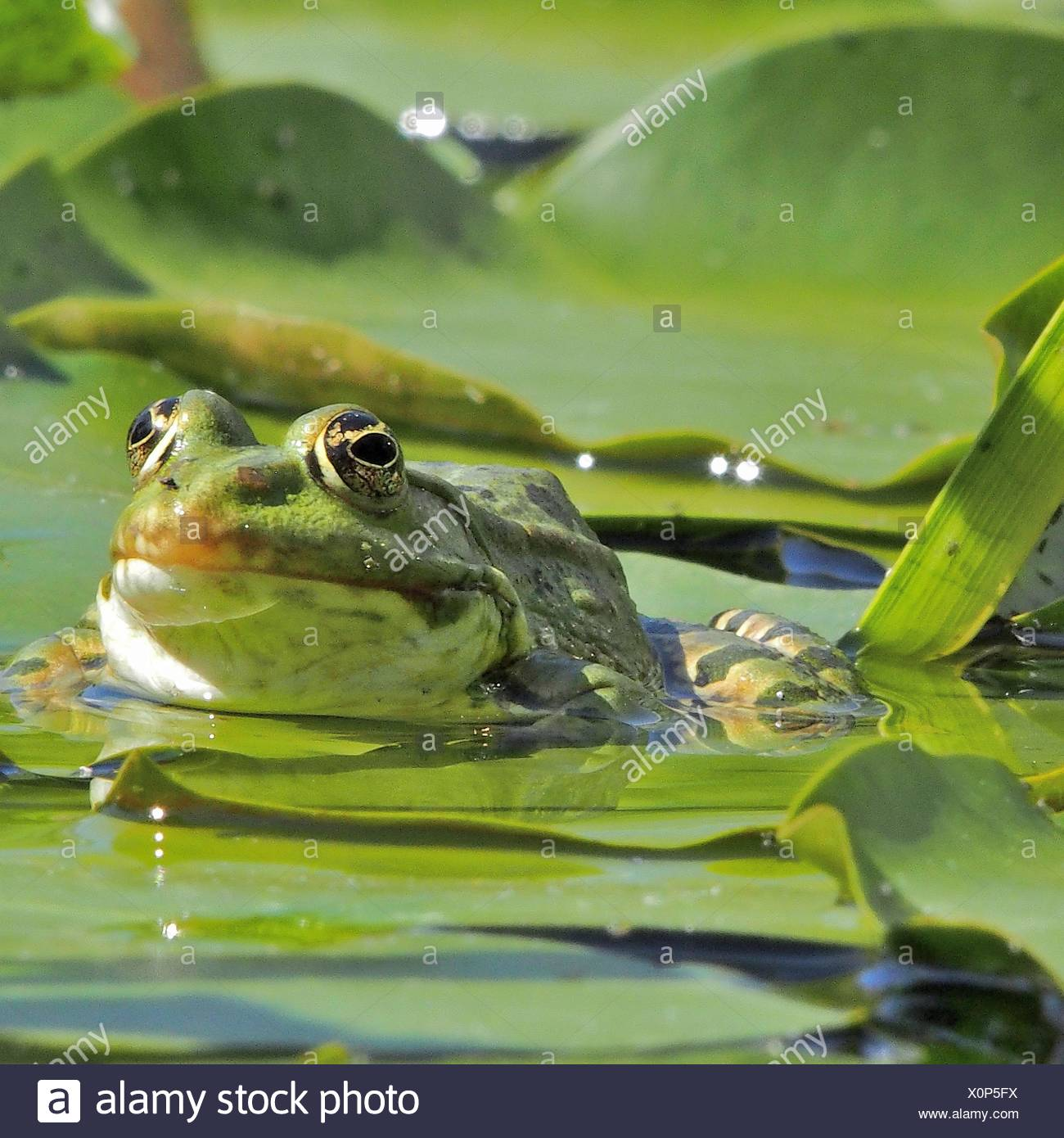 Close-Up Of Frog On Leaf In Pond - Stock Image