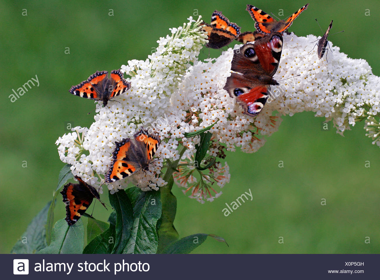 Butterflies - small tortoiseshells and a peacock moth sitting on a flowering white butterfly bush (Aglais urticae) (Inachis io) - Stock Image