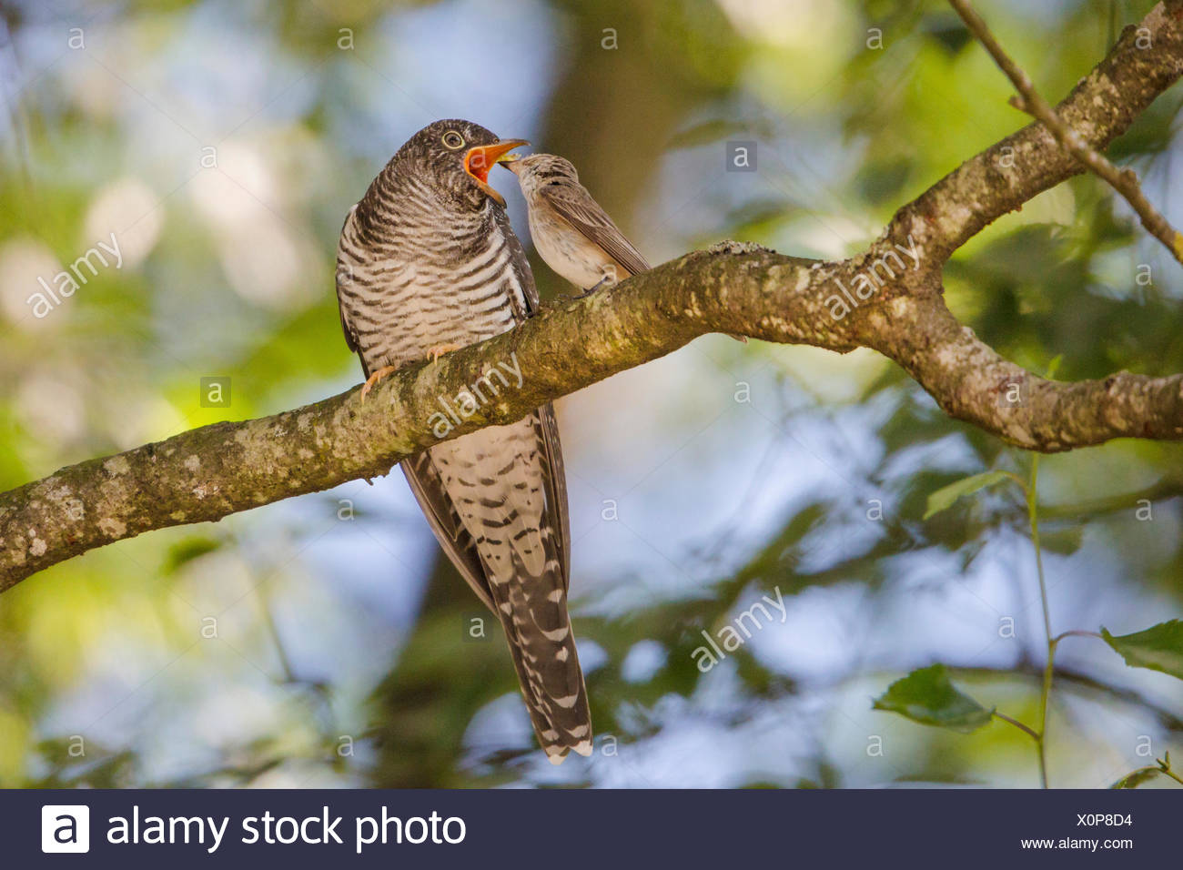Eurasian cuckoo (Cuculus canorus), Spotted Flycatcher feeding young cuckoo , Germany, Bavaria - Stock Image