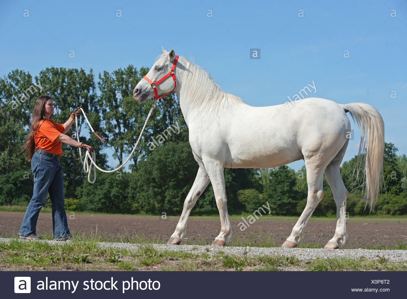 Tiger Horse with woman - rein-back - Stock Image