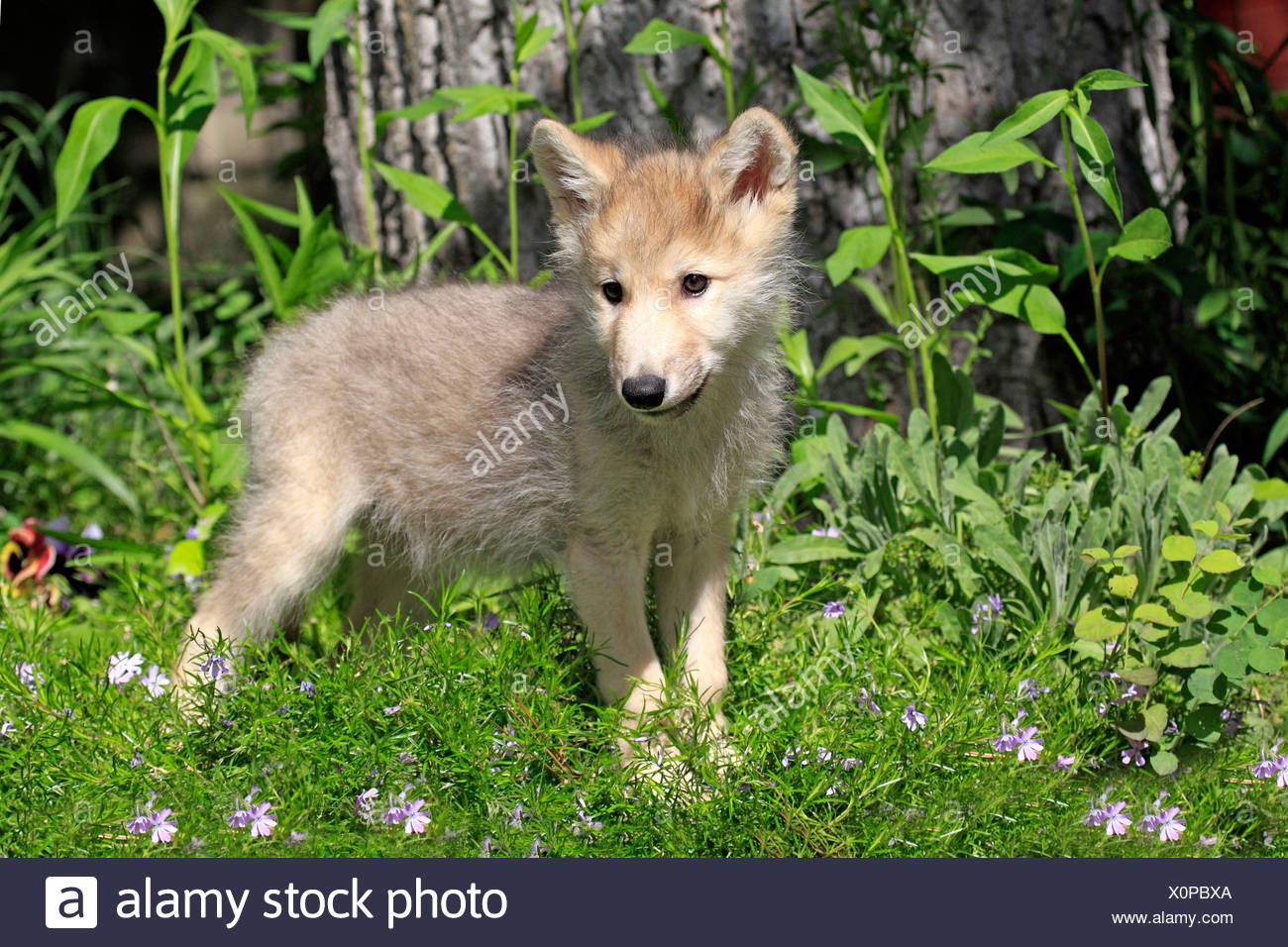Wolf, cub, 8 weeks / (Canis lupus) - Stock Image
