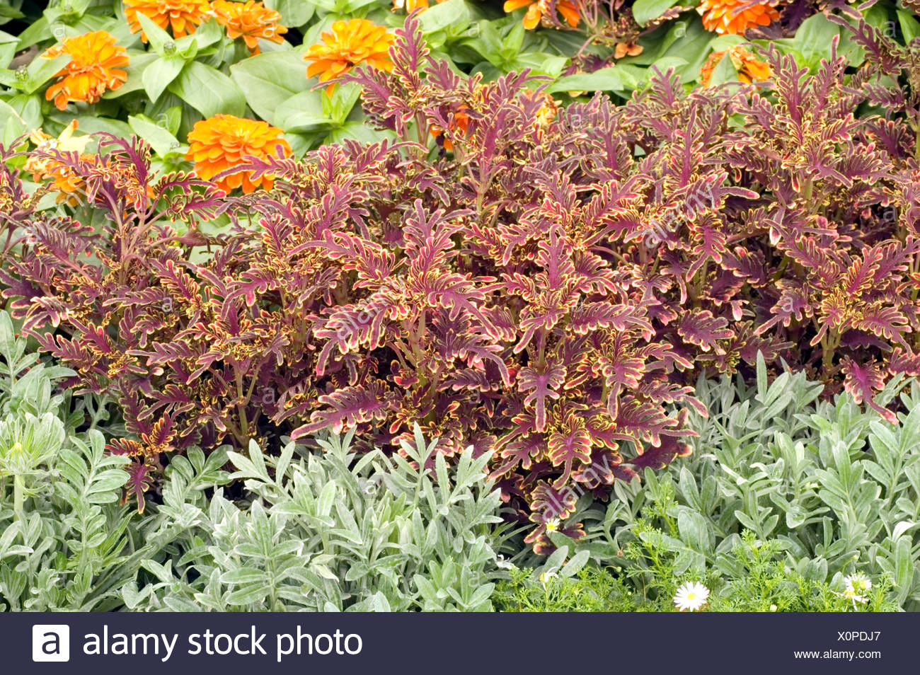 COLEUS KIWI FERN Stock Photo: 275859535 - Alamy