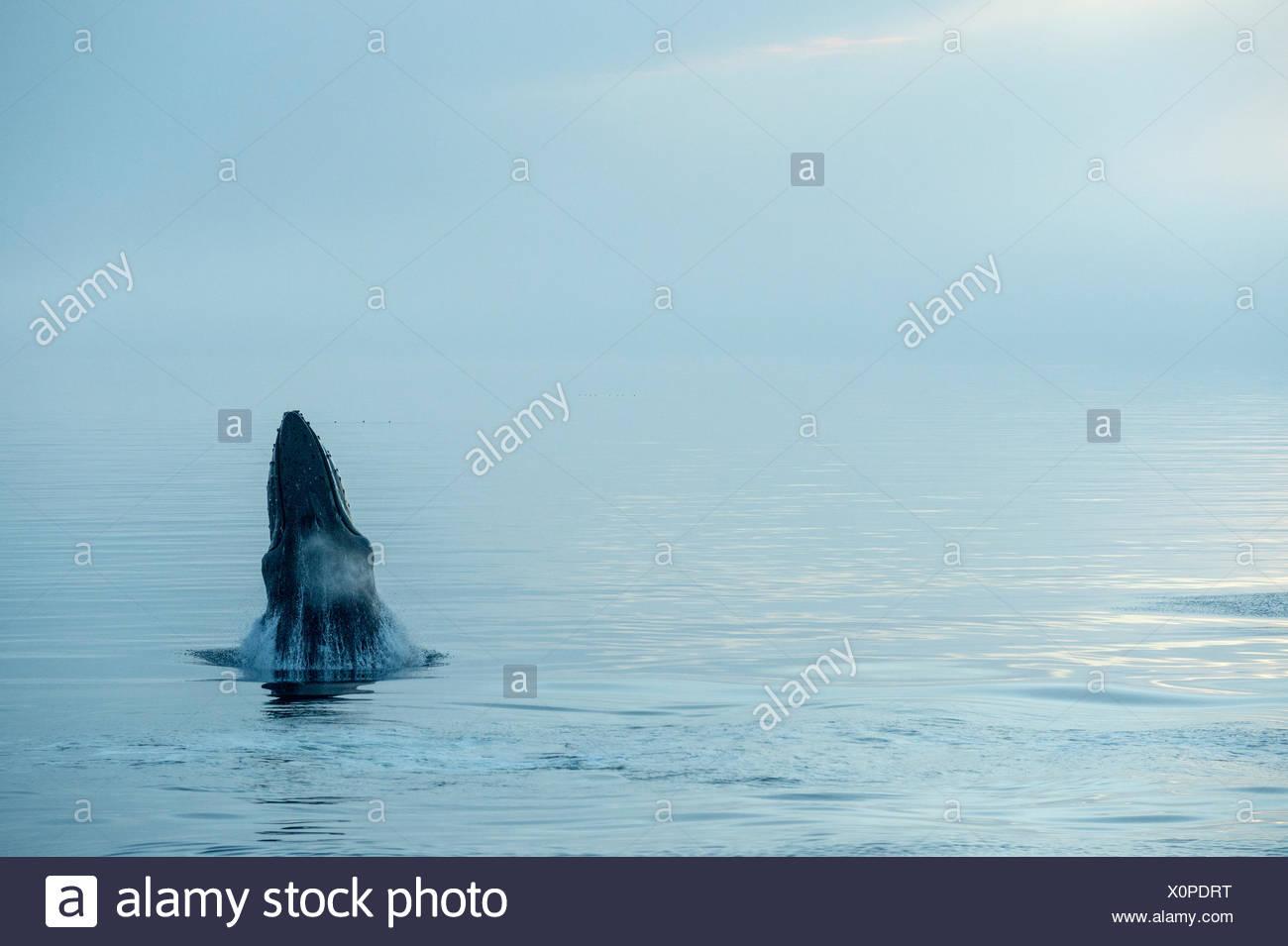 A humpback whale (Megaptera novaeangliae) beginning to breach near Petersburg, Alaska. - Stock Image
