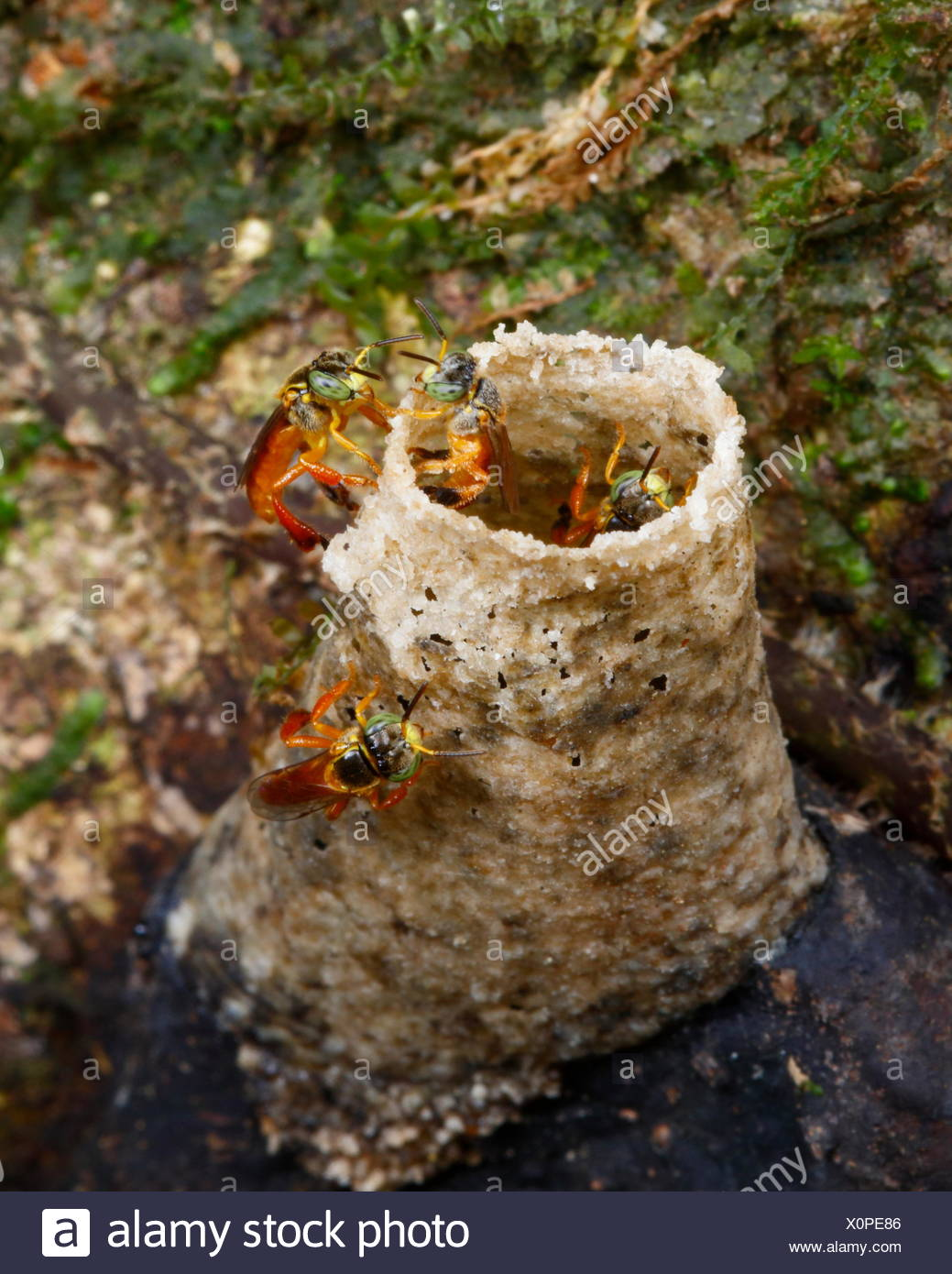 A tube nest of stingless bees, Tetragonisca species. - Stock Image