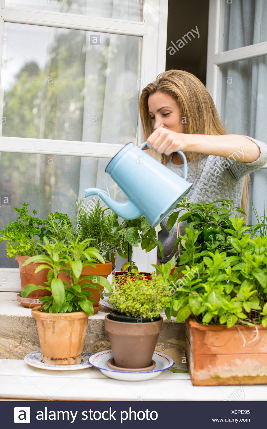 Woman watering herb plants on windowsill - Stock Image