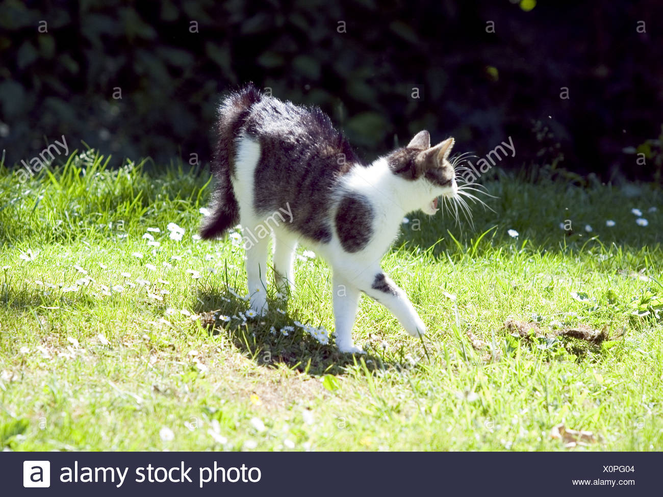 Angry tabby cat - Stock Image