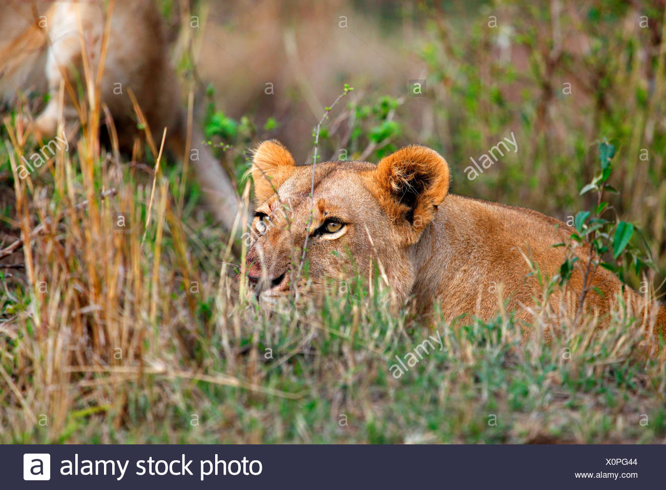 lion (Panthera leo), lioness lies in ambush, Kenya, Masai Mara National Park Stock Photo