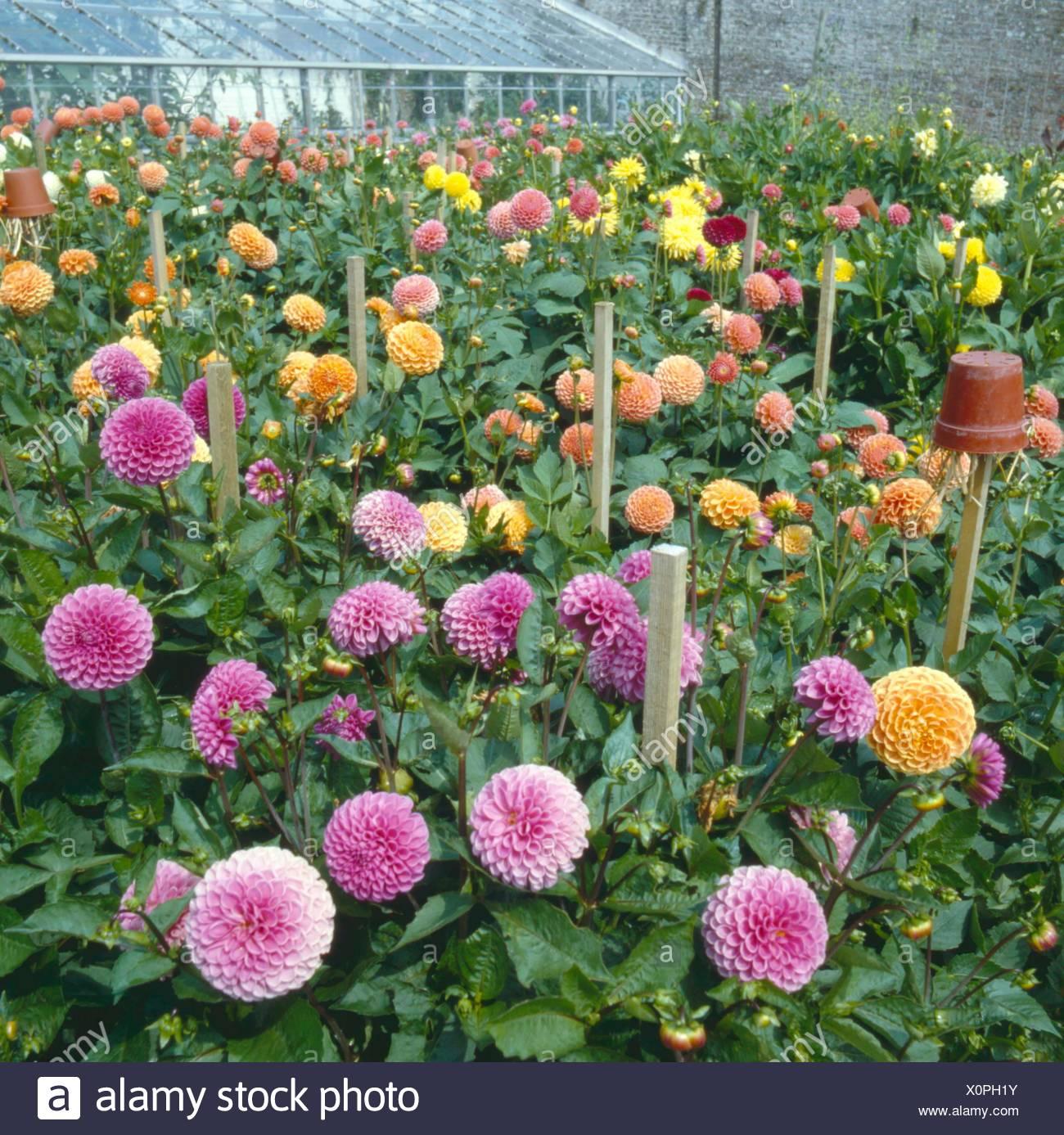 Dahlia garden with varieties for cut flowers nb earwig trap dahlia garden with varieties for cut flowers nb earwig trap dgn052489 photos horticultura izmirmasajfo