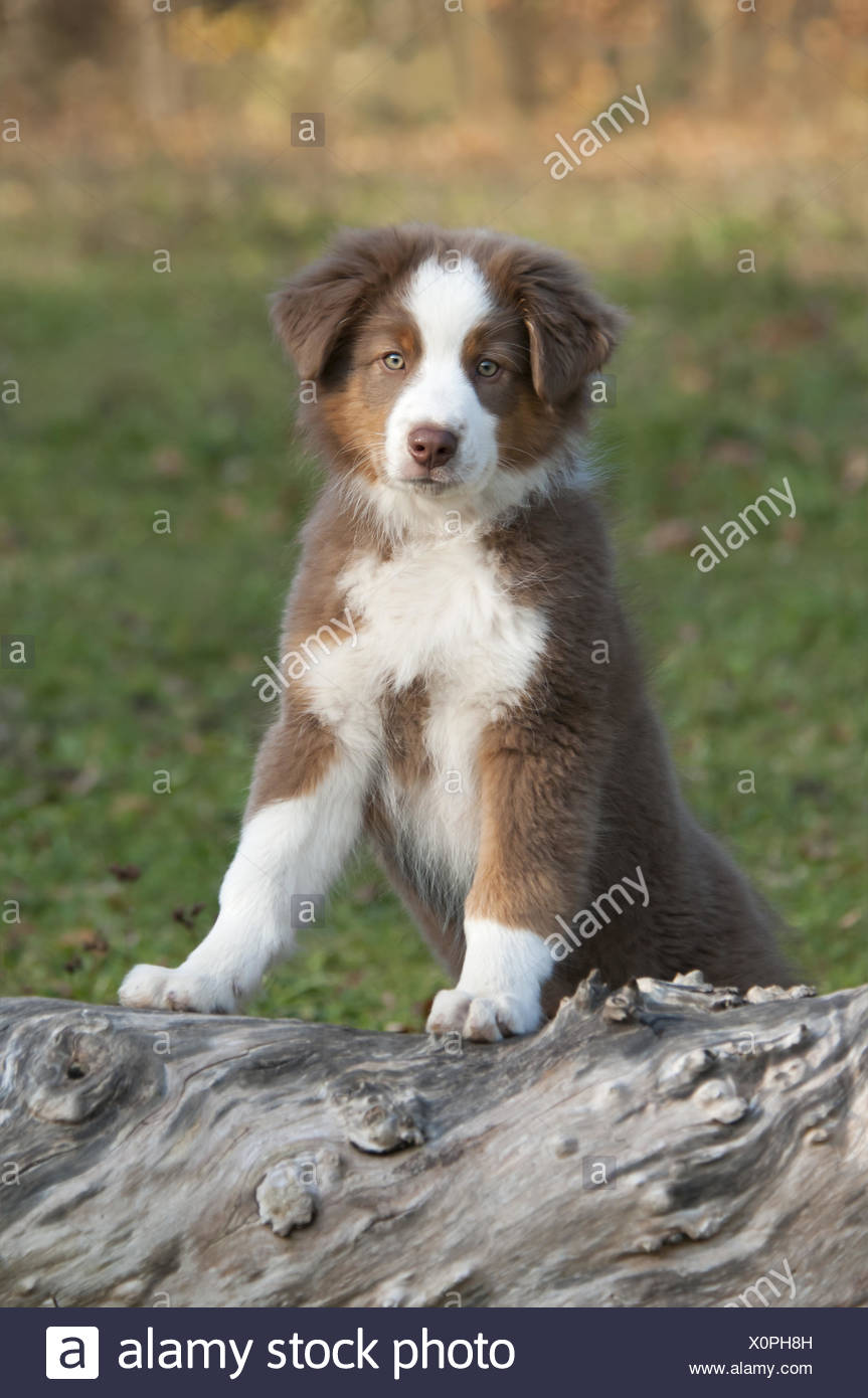 Young Australian Shepherd, Red Tri, on a tree log - Stock Image