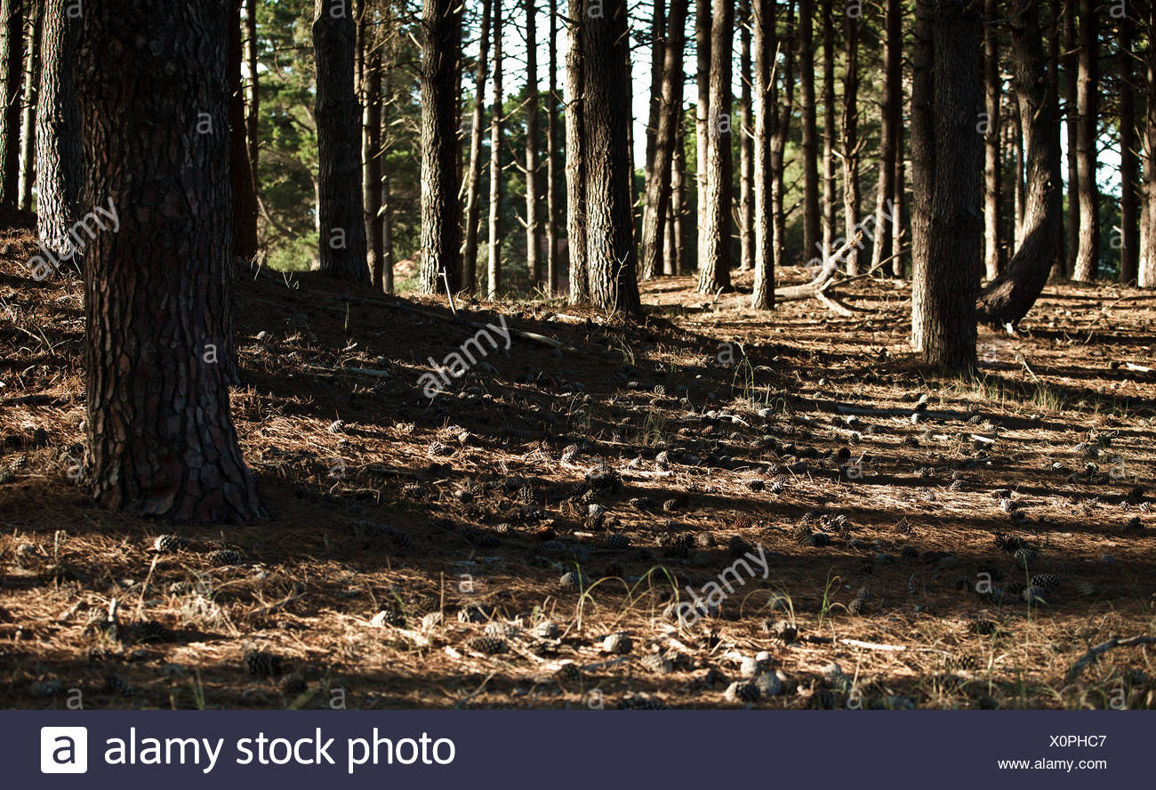 Shadows in pine forest - Stock Image