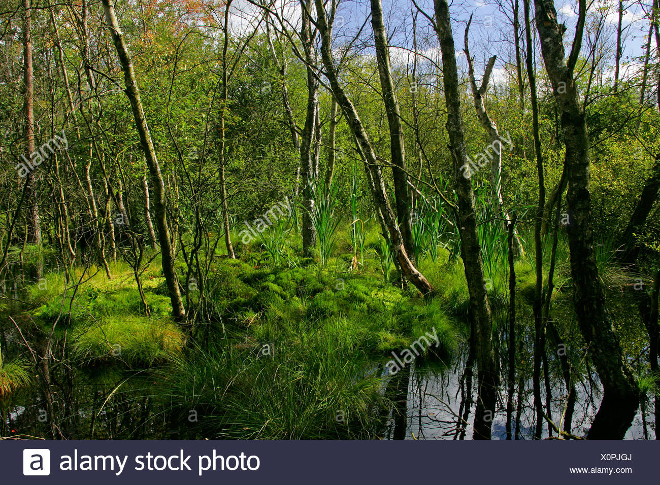 Moor in the Lueneburg Heath - nature reserve Pietzmoor, Schneverdingen, nature reserve Lueneburg Heath, Lower Saxony, Germany,  Stock Photo