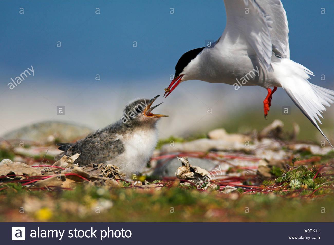 arctic tern (Sterna paradisaea), feeding, Iceland, Latrabjarg - Stock Image