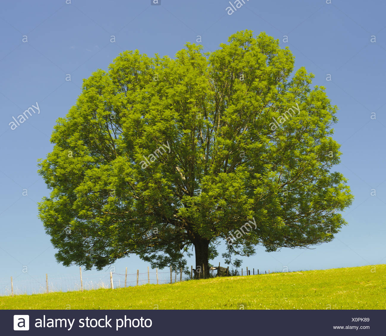 single old big ash tree at spring Stock Photo