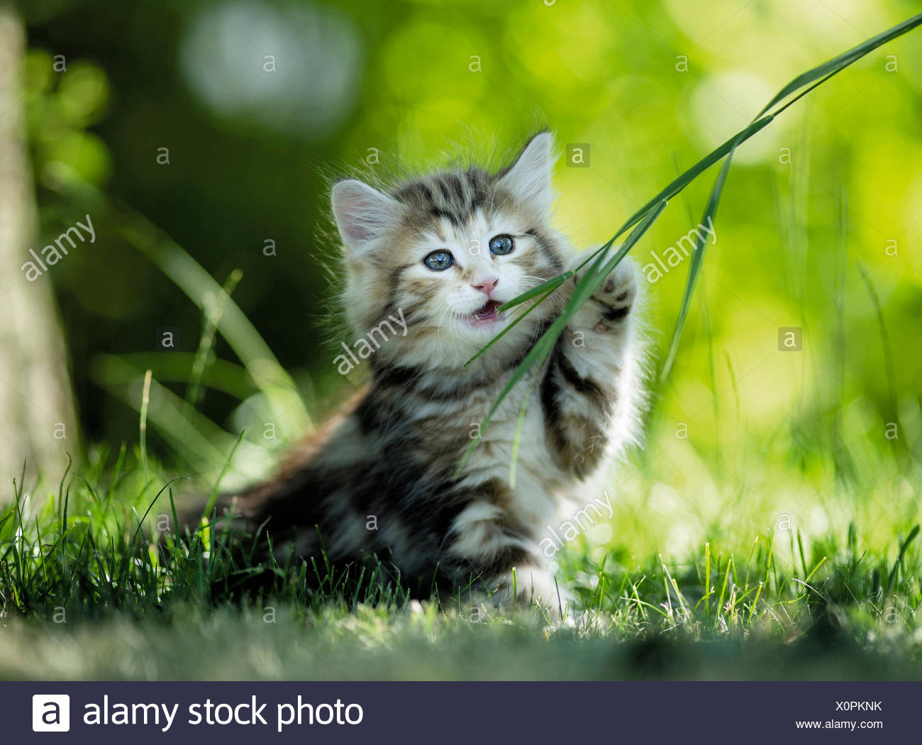 Norwegian Forest Cat Tabby kitten chewing blade of grass Germany - Stock Image