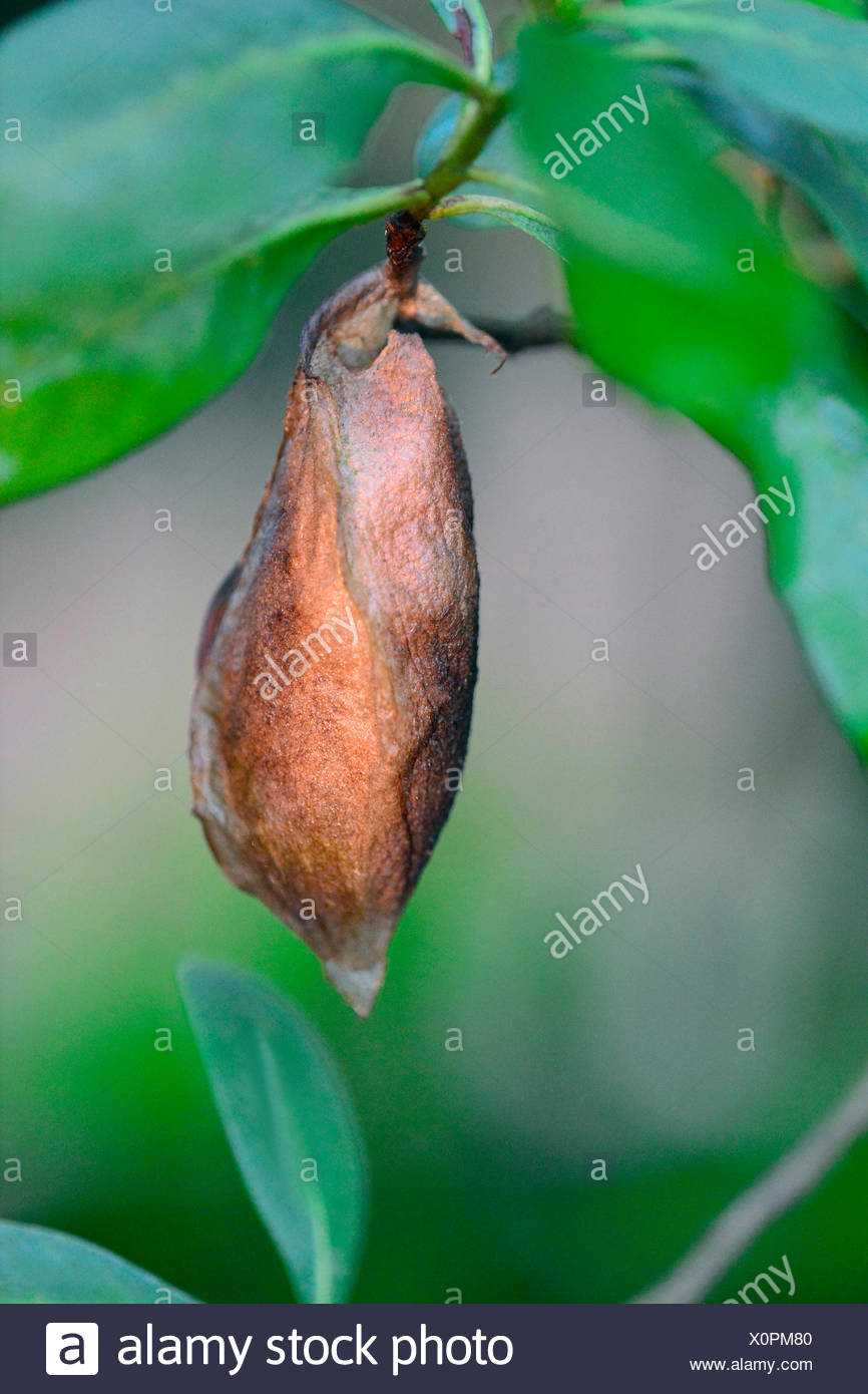 Atlas Moth (Attacus atlas), pupa on a twig, Germany - Stock Image