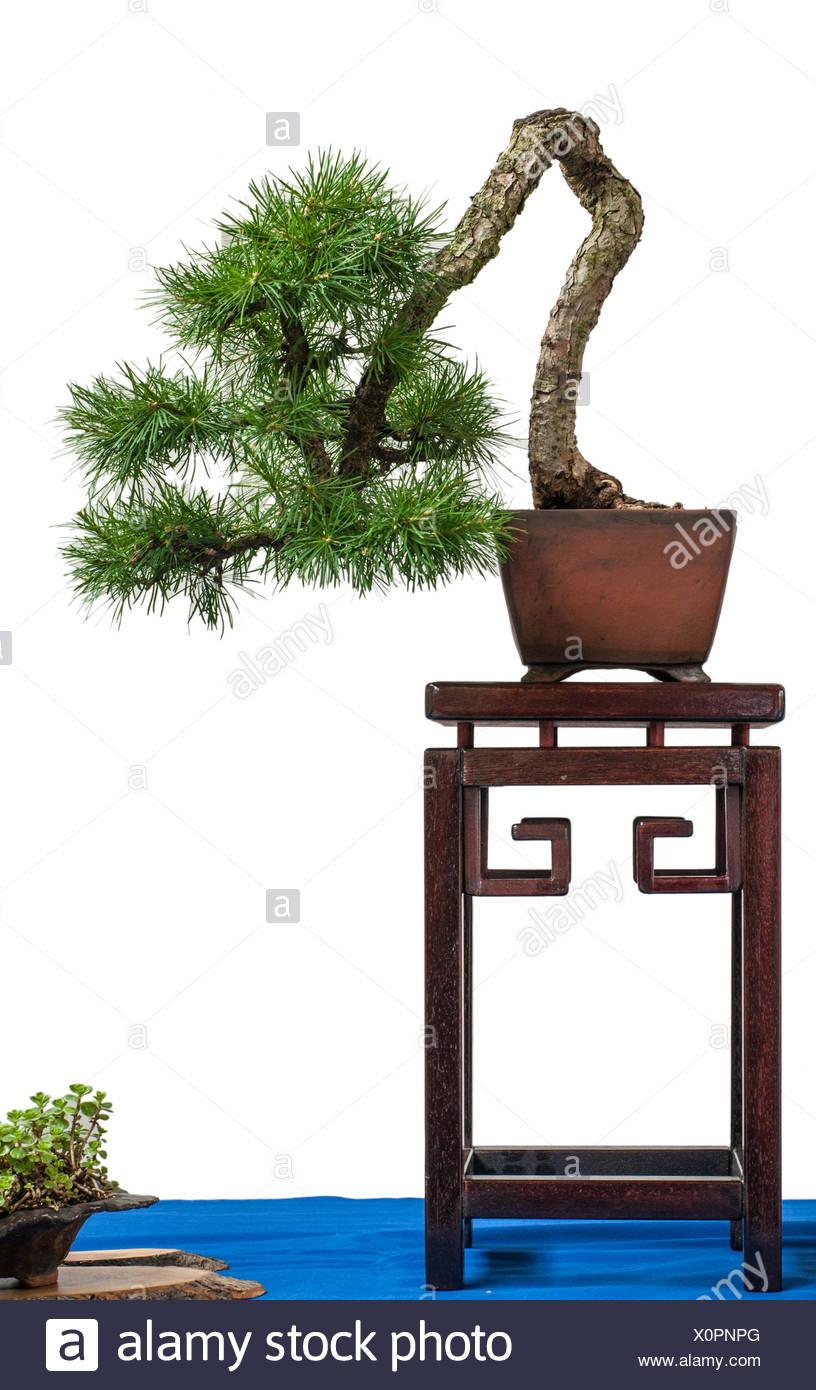 Conifer european larch - Stock Image