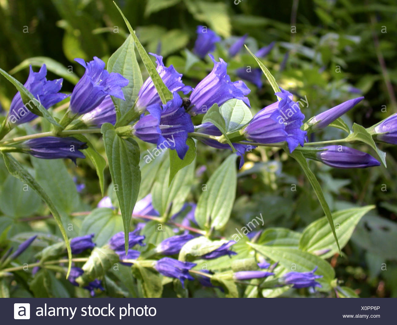 willow gentian (Gentiana asclepiadea), blooming Stock Photo
