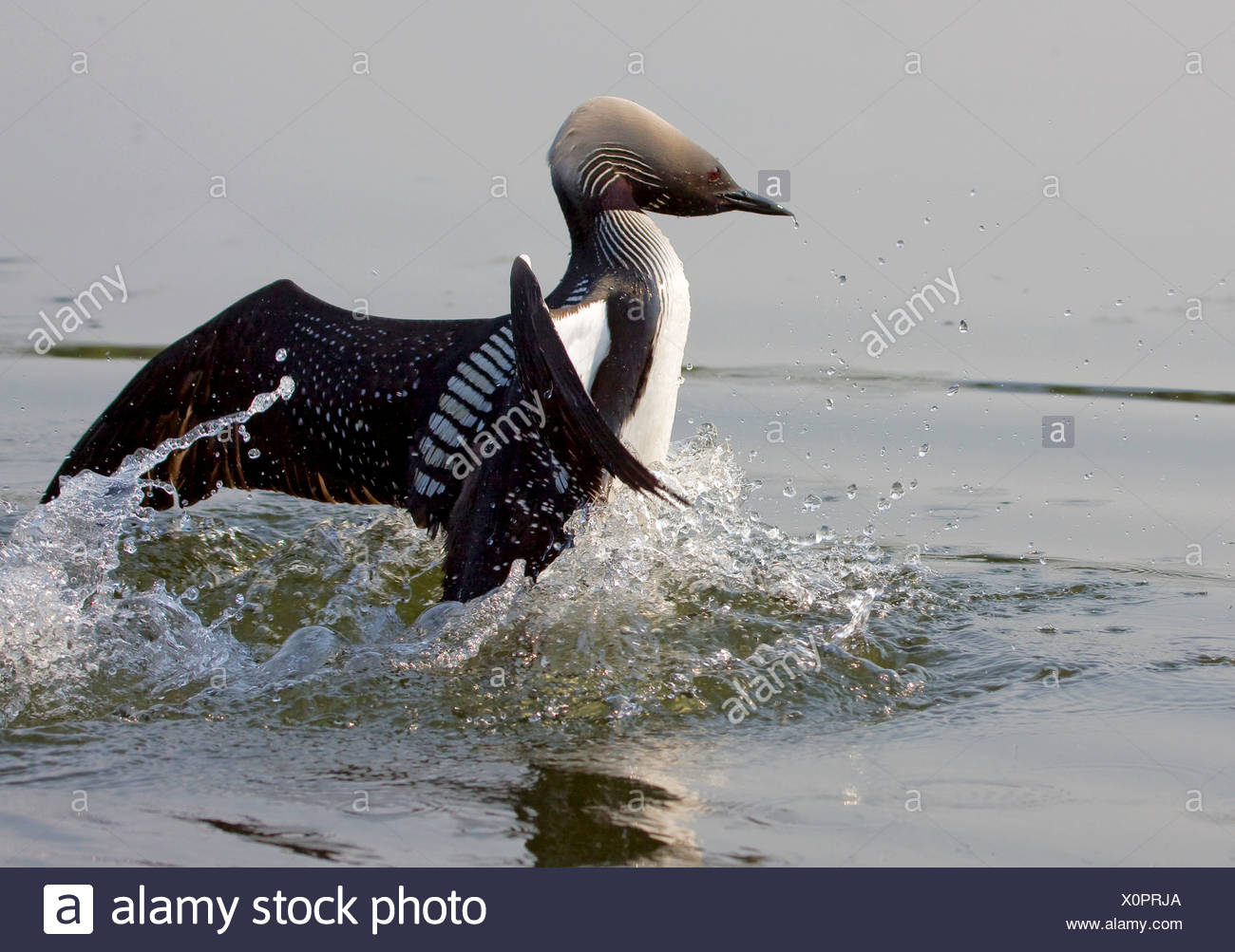 Alaska. Pacific Loon (Gavia pacifica) territorial posturing while on a southcentral Alaska lake. - Stock Image