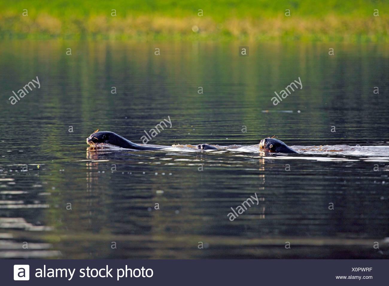 giant otter (Pteronura brasiliensis), family swimming, Peru, Loreto, Pacaya Samiria National Park - Stock Image